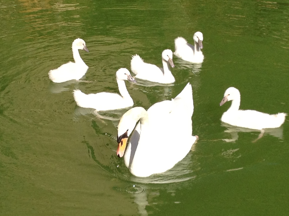 Visions in White: Swans