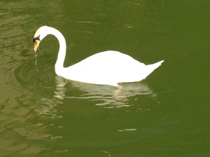 Swan Copyright Shelagh Donnelly