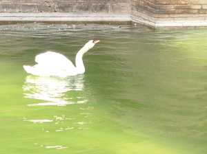 Palma Swan Copyright Shelagh Donnelly