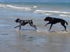 Dogs at Play 205 Copyright Shelagh Donnelly
