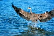 Heron 06888 Flight Copyright Shelagh Donnelly