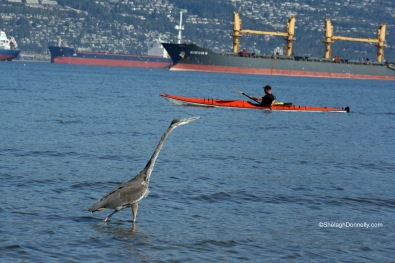 Heron and Kayak 0670 Copyright Shelagh Donnelly