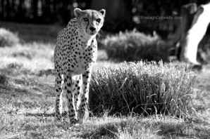 Spotted 7875 Copyright Shelagh Donnelly