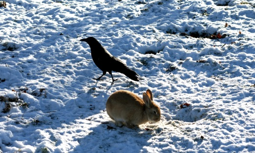 Crow and Rabbit 2351 Copyright Shelagh Donnelly