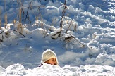 Playing in Snow 2475 Copyright Shelagh Donnelly copy
