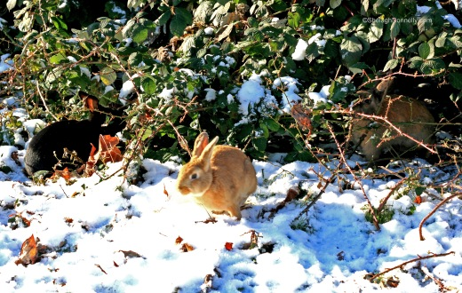 Snow Bunnies 2014-11-2360 Copyright Shelagh Donnelly