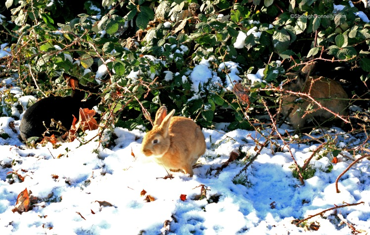 Snow Bunnies 2014-11-2360 Copyright Shelagh Donnelly