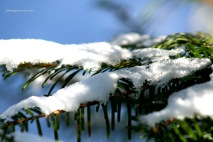 Snow on cedar 2014-2335 Copyright Shelagh Donnelly