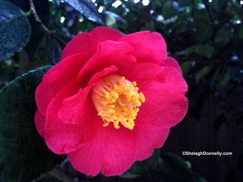 Camellia 246 Copyright Shelagh Donnelly
