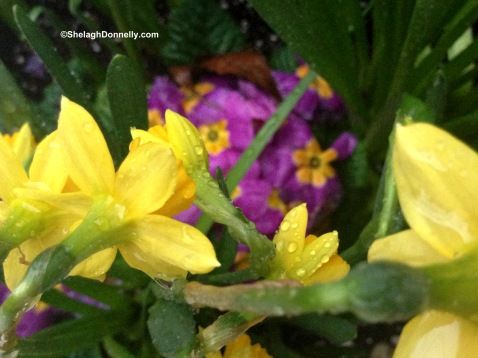 Daffs and Primula Copyright Shelagh Donnelly
