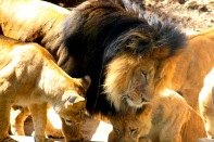 Lions 4405 Copyright Shelagh Donnelly