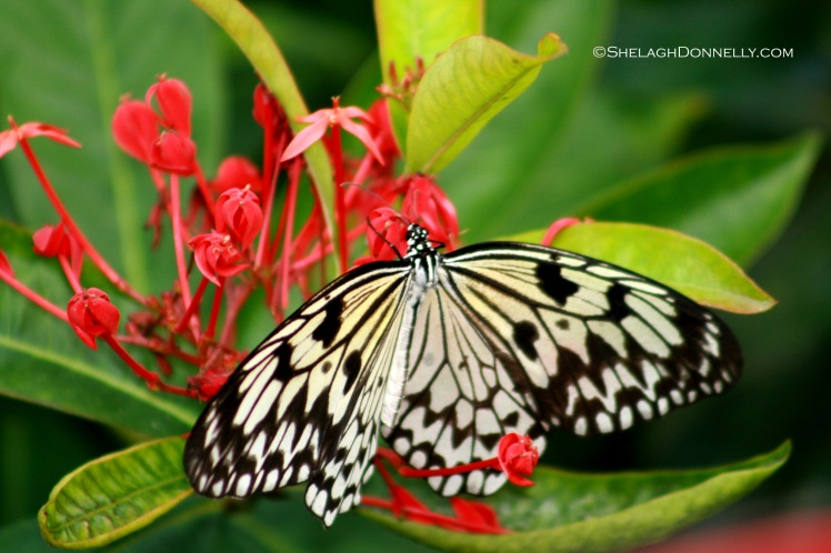 Butterfly 3617 Copyright Shelagh Donnelly