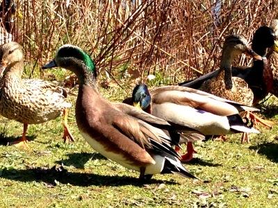 Ducks 6499 Copyright Shelagh Donnelly