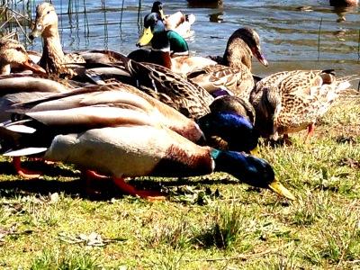 Ducks Feeding 6495 Copyright Shelagh Donnelly