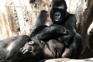 Gorillas 4355 Copyright Shelagh Donnelly