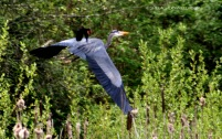 Heron 4697 Copyright Shelagh Donnelly