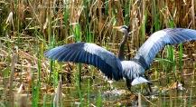 Heron Turf Jericho 4694 b Copyright Shelagh Donnelly