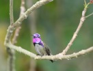 Hummingbird 3630 Copyright Shelagh Donnelly