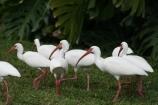 Floridian Birds 3690 Copyright Shelagh Donnelly