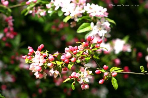 Jericho Blossoms 4607 Copyright Shelagh Donnelly