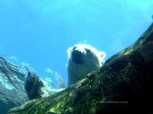 Polar Bear 3495 Copyright Shelagh Donnelly