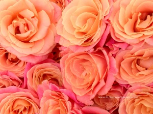Beautiful Paris Roses 3016 2 Copyright Shelagh Donnelly
