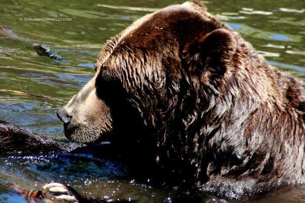 Grizzly 4997 Copyright Shelagh Donnelly