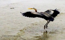 Heron 8101 Copyright Shelagh Donnelly