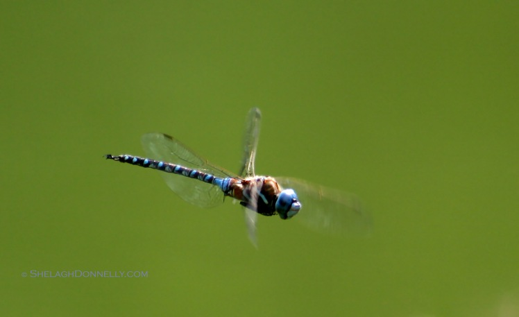Dragonfly 5831.2 Copyright Shelagh Donnelly