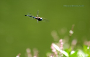Dragonfly 5831 Copyright Shelagh Donnelly