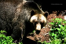 Grizzly 4979 Copyright Shelagh Donnelly