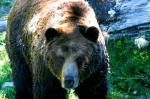 Grizzly 5040 Copyright Shelagh Donnelly