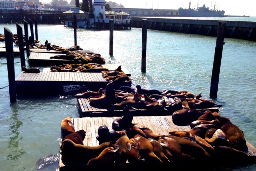 San Fran Harbour Seals Copyright Shelagh Donnelly