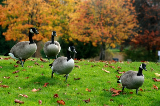 Canada Geese in Fall 7834 Copyright Shelagh Donnelly