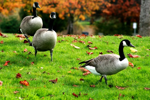 Canada Geese in Fall 7835 Copyright Shelagh Donnelly