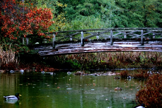 Duck Pond in Fall 7856 Copyright Shelagh Donnelly