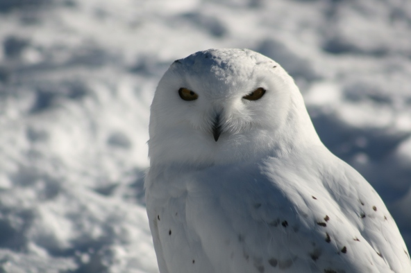 Snowy Owl 2015-8204 Copyright Shelagh Donnelly