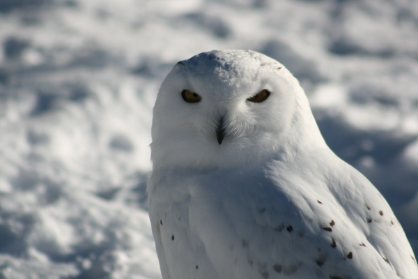 Snowy Owl 2015-8204 Copyright Shelagh Donnelly