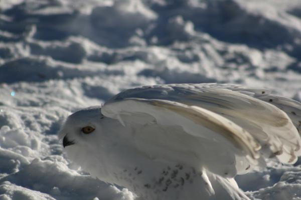 Snowy Owl 8211 Copyright Shelagh Donnelly
