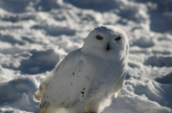 Snowy Owl 8215 Copyright Shelagh Donnelly