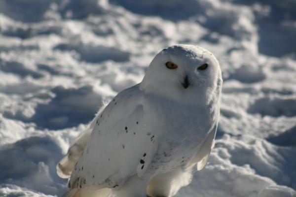 Snowy Owl 8215 Copyright Shelagh Donnelly