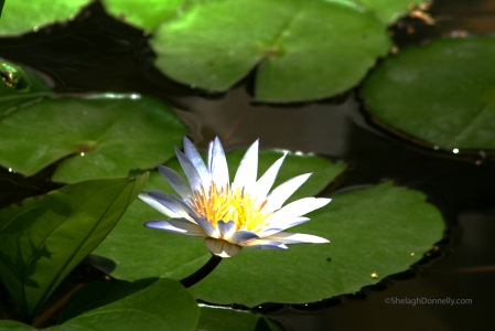 Water Garden Phuket 9584 Copyright Shelagh Donnelly