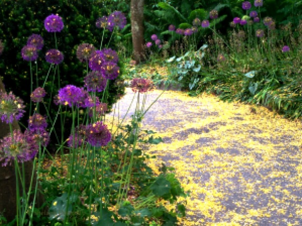 Allium and Laburnum Van Dusen Copyright Shelagh Donnelly