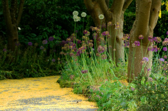 Allium Path 0289 Copyright Shelagh Donnelly
