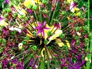 Allium w Laburnum Petals 5877 Copyright Shelagh Donnelly