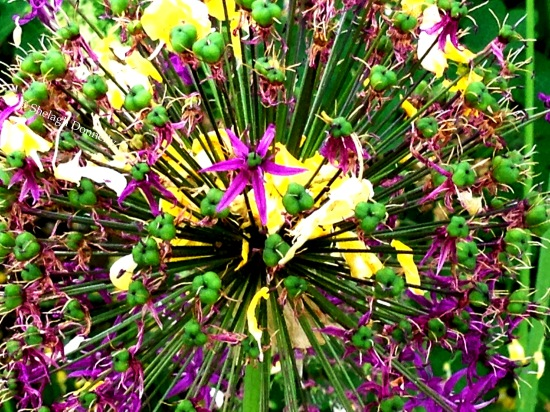 Allium w Laburnum Petals 5877 Copyright Shelagh Donnelly