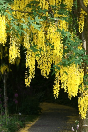 Laburnum 0305 Copyright Shelagh Donnelly