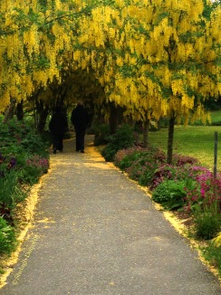 Laburnum Stroll 5976 Copyright Shelagh Donnelly