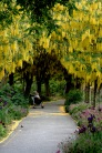 Laburnum Walk 0336 Van Dusen Copyright Shelagh Donnelly