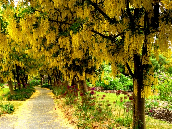 Laburnum Walk Van Dusen Copyright Shelagh Donnelly